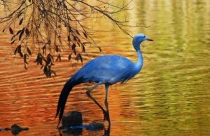 blue-crane-wading-in-shallow-water