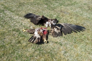 white-tailed eagle killed by wind turbine - Denmark