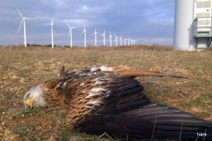 Red Kite at Navarre Windfarm