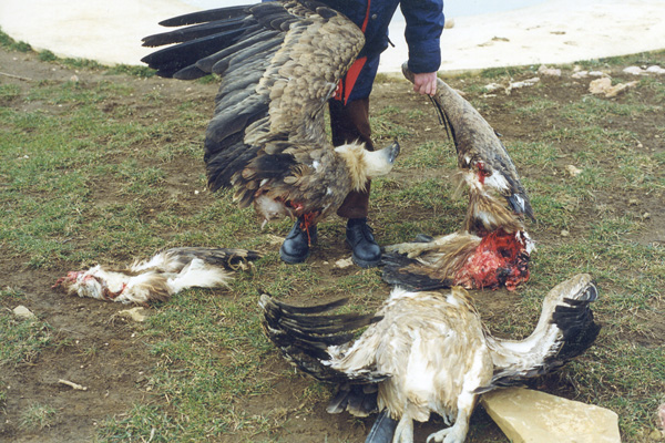 Image result for eagles killed by windmills