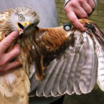 Red Kite casualty in Wales