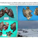 White-tailed Sea Eagles, Japan Courtesy of Keisuke Saito